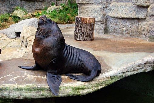 Nature, Mammal, Sea lion, Foka, Zoo
