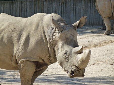 Rhino, White Rhino, Nature, Safari, Wild, Zoo