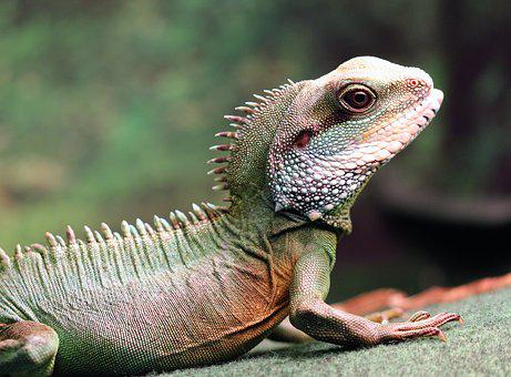 Chinese Water Dragon, Green Water Dragon, Reptile