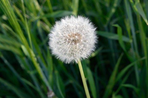 Plant, Lawn, Nature, Summer, Dandelion, Outdoors