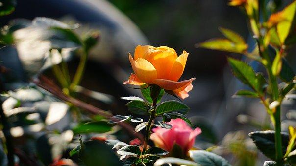 Roses, Flower, Nice