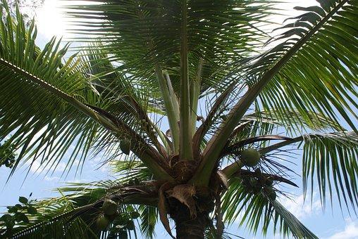 Palm, Tropical, Summer, Beach, Nature, Tree, Coconut