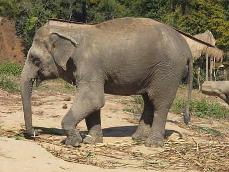 Elephant, Nature, Asia, India, The Indian Elephant