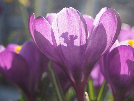 Crocus, Flower, Back Light, Blossom, Bloom, Violet
