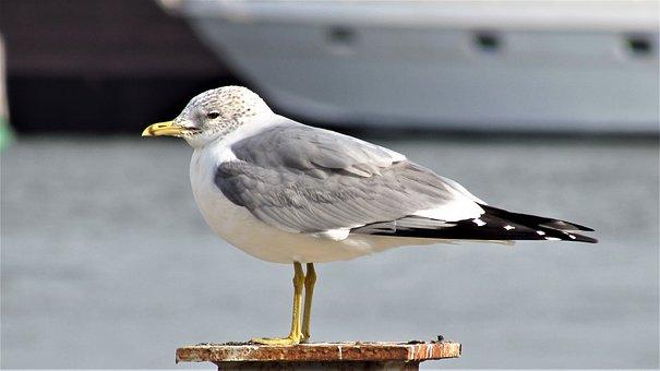 Birds, Marine, Marti, Beach, Peace, Nature, Animal