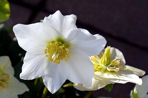 Christmas Rose, Flower, Nature, Plant, Garden