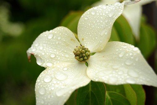 Flower, Nature, Flora, Closeup, Leaf, Dogwood, Plant