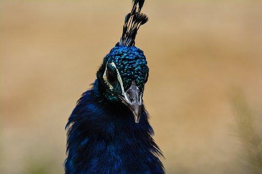 Bird, Feather, Animal World, Nature, Animal, Peacock