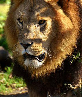 Lion, Predator, Wild Animal, Cat, Mane, Zoo, Hellabrunn