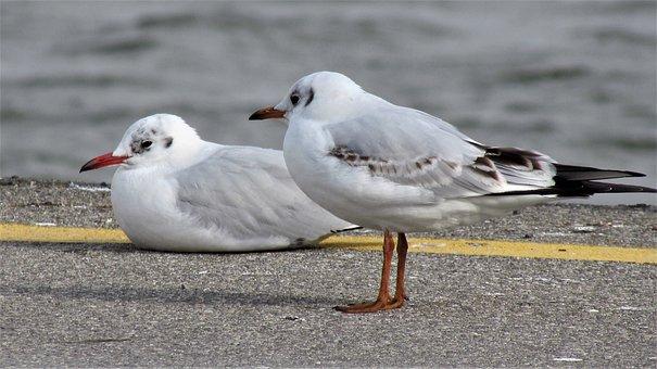 Birds, Wildlife, Nature, Seagull, Marine