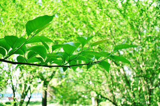 Green Leaves, Plant, Tree, Spring, Trees