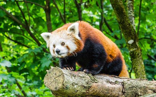 Nature, Animal World, Mammal, Animal, Cute, Zoo, Panda