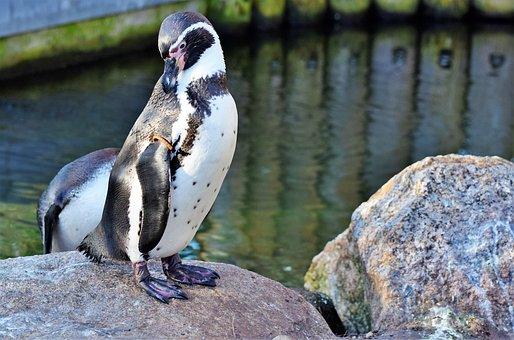 Penguin, Bird, Water Bird, Animal, Animal World, Bill