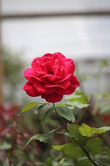 Flower, Nature, Rose, Flora, Leaf, Petal, Garden