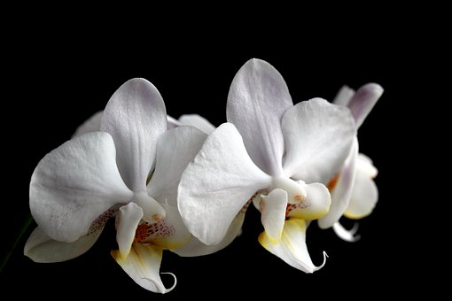Flower, Nature, Plant, Tropical, Elegant, Orchid, White