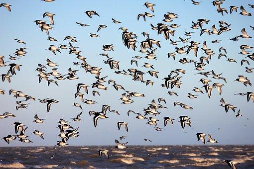 Bird, Flight, Animal World, Oystercatcher, North Sea