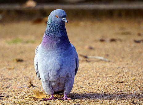 Birds, Nature, Animalia, Columbidae, Wild Life, Pen