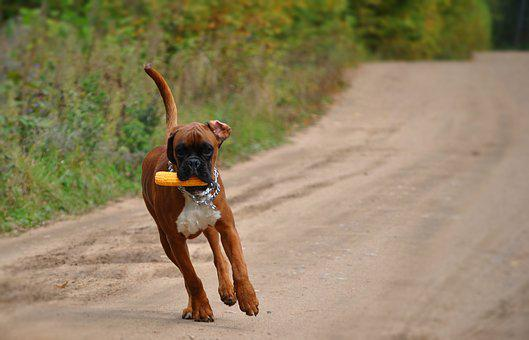 Boxer, Dog, Cute, Outdoors, Mammal, Animal