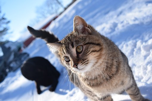 Snow, Winter, Nature, Animal, Cold, Cute, Cat, Portrait