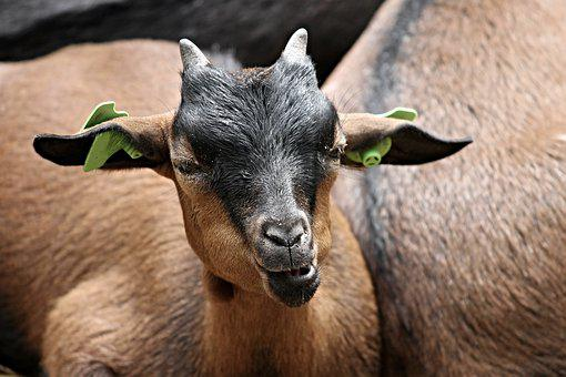 Goat, Domestic Goat, Animal, Brown, Fur, Kid, Farm
