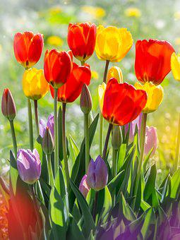 Tulips, Flowers, Nature, Garden, Bright, Floral, Close