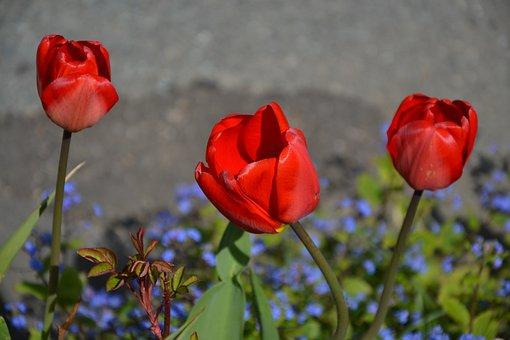 Flower, Nature, Plant, Tulip, Leaf, Road, Spring