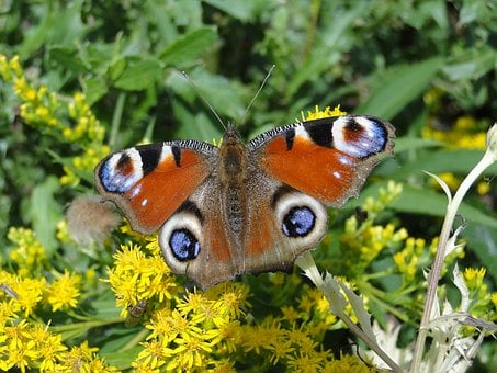 Nature, Insect, Animals, Summer, Flower, Butterfly Day