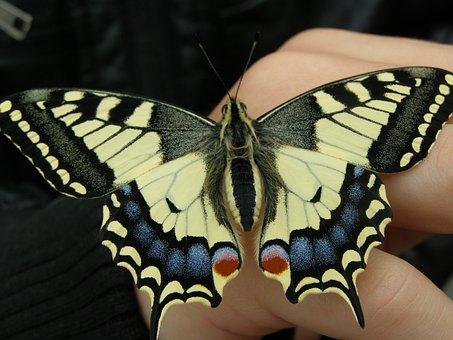 Dovetail, Papilio Machaon, Swallowtail Butterflies
