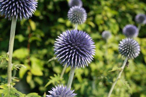 Plant, Summer, Thistle, Nature, Flower, Garden, Season
