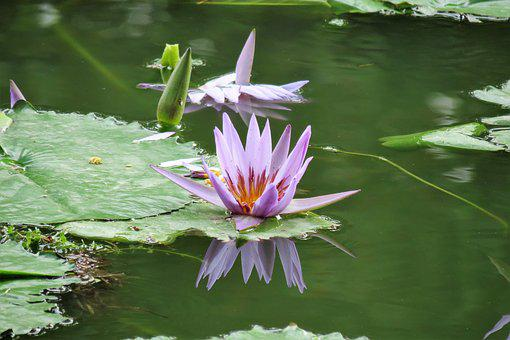 Lotus, Nature, Flower, Water, Pond, Garden, Water Lily