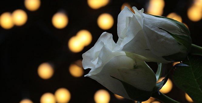 Roses, Bokeh, White Roses, Nature, Noble Roses