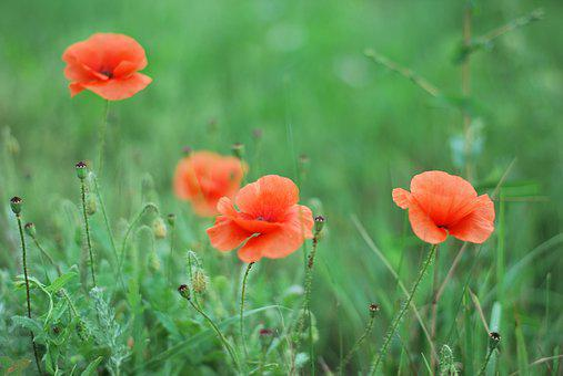 Flower, Nature, Plant, Summer, Mack, Field, Haymaking