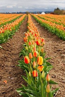 Tulip, Flower, Flora, Nature, Field, Agriculture