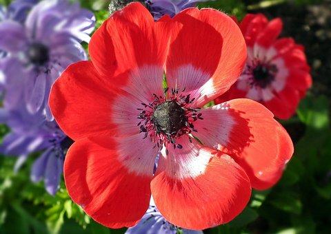 Flower, Anemone, Red, Plant, Nature, Garden, Summer