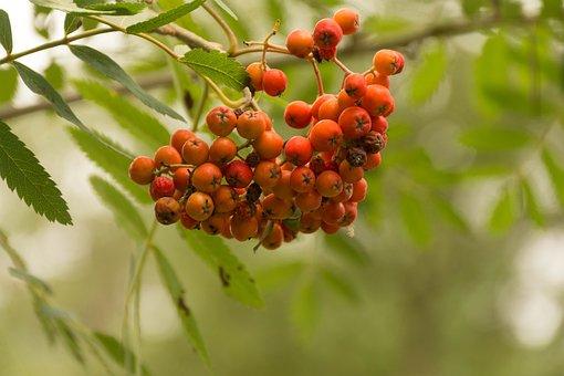 Nature, Fruit, Sheet, Branch, Plant