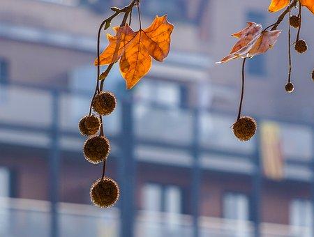 Tree, Autumn, Leaf, Season, Red Leaves, Hanging, Balls
