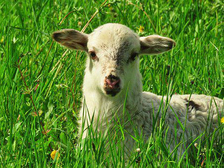 Lamb, Sheep, Animal, Animal Child, Cute, Grass, Meadow