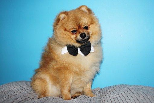 Spitz Miniature, Dog House, Charming, Pets