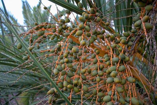 Fruit, Tree, Food, Nature, Flora, Palm