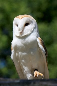 Barn Own, Owl, Bird, White, Close-up, Details, Feathers