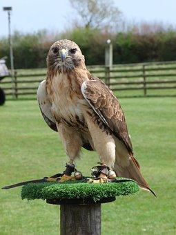 Eagle, Prey, Bird, Wild, Nature, Wildlife, Beak