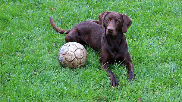 Grass, Dog, Animal, Mammal, Ball, Attention