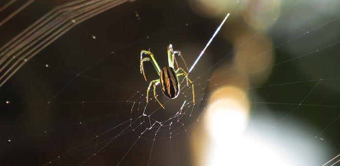 Spider, Arachnid, Insect, Web, Nature, Armenia