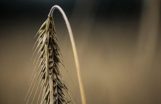 Nature, Wheat, Cereals, Growth, Harvest, Plant, Field