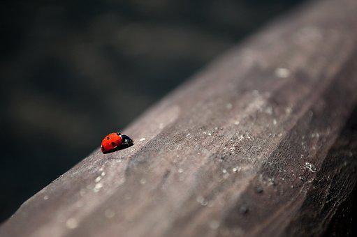 Insect, No One, Nature, At The Court Of, Ladybug