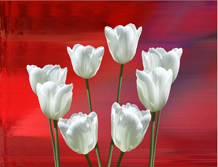 Spring, Tulips, Red, Nature, Flowers, Cut Flowers
