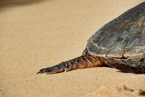 Turtle, Hawaii, Green Turtle, Leg, Nature, Reptile