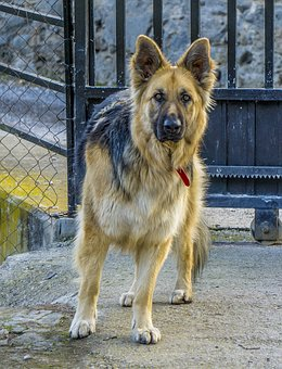 Dog, Wolf, Pastor, Canis Lupus Familiaris, Canidae