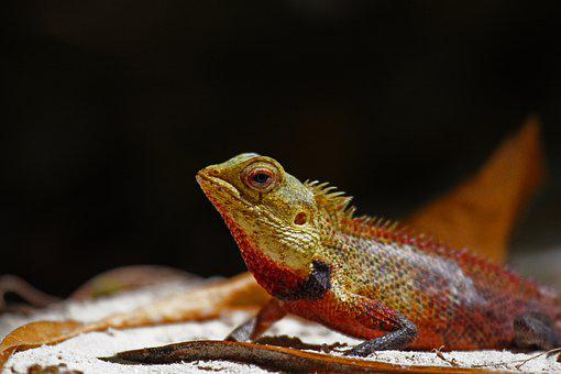 Lizard, Reptile, Nature, Wildlife, Animal, Outdoors