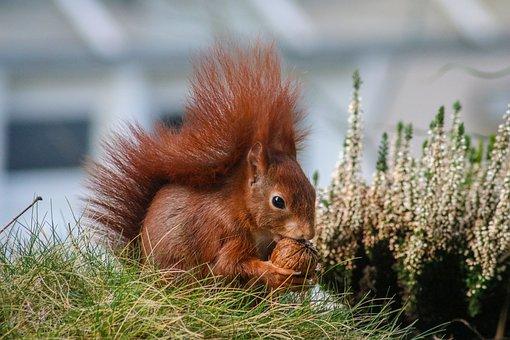 Animal, Squirrel, Sciurus Vulgaris, Nature, Mammal